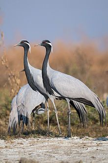"""archosaurophilia: """" Demoiselle cranes (Anthropoides virgo) are avian migrants par excellence. The smallest crane in the world, standing at a mere 76 cm inches), the demoiselle still achieves the. Pretty Birds, Love Birds, Beautiful Birds, Crane, Sword In The Stone, Big Bird, Wild Birds, Science And Nature, Bird Watching"""