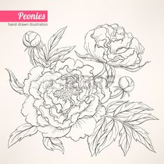 How to draw a peony step 4 | Flowers and Foliage ...