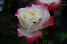 The flower is beautiful, but it's the cute, fuzzy little bug I love.