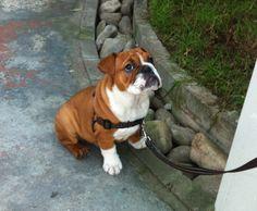 #englishbulldog #bulldog #beautifulbulldog #dogs #puppy #englishbulldogpuppy #banjoe