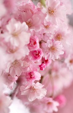 See more about cherry blossoms, pink blossom and pink flowers. My Flower, Pretty In Pink, Beautiful Flowers, Simply Beautiful, Deco Floral, Spring Blossom, Spring Flowers, Beautiful Gardens, Planting Flowers