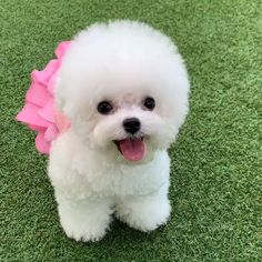 Find Puppies and Dogs Near You - Cute Fluffy Dogs, Cute Baby Dogs, Cute Little Puppies, Cute Little Animals, Cute Dogs And Puppies, Cute Funny Animals, Cutest Dogs, Bichon Dog, Toy Poodle Puppies