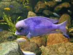 Saltwater Aquarium - Find incredible deals on Saltwater Aquarium and Saltwater Aquarium accessories. Let us show you how to save money on Saltwater Aquarium NOW! Tropical Aquarium, Saltwater Aquarium, Freshwater Aquarium, Tropical Fish, Cichlid Aquarium, Cichlid Fish, Aquarium Fish, Malawi Cichlids, African Cichlids