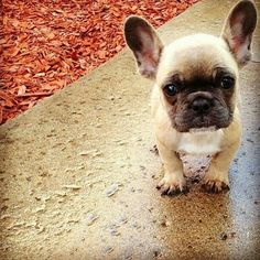 need a frenchie in my life
