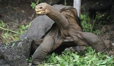 """NYTimes article on the death of Lonesome George: """"A Giant Tortoise's Death Gives Extinction a Face"""""""