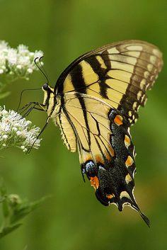 Swallowtail Butterfly, MNesterpics