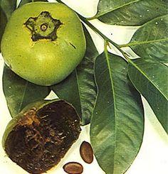 Tanaman Sawo Hitam (Black Sapote)