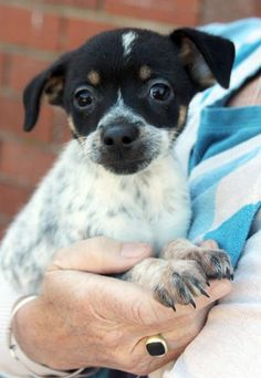 Piper is an adoptable Jack Russell Terrier searching for a forever family near Larchmont, NY. Use Petfinder to find adoptable pets in your area.