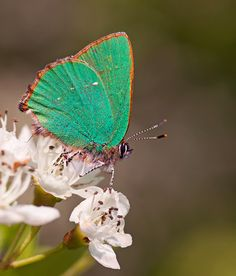 Green Hairstreak by Matt Berry on Fivehundredpx.