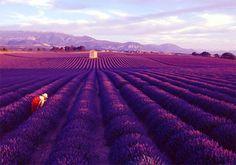 Lavender Flower Fields, Provence – France