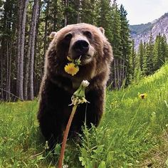 Photo by Alex P. Taylor   Remote camera of bear F148 in Banff National Park, Canada