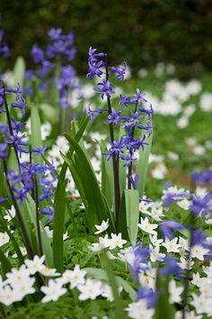 hyacinth and anemone