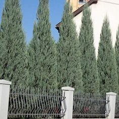 Upright Juniper that is Extremely Drought-Resistant -  This completely maintenance-free juniper is ideal for areas where height is wanted yet there is no room for a wide based tree.  Skyrocket juniper is a rare plant in which you achieve height without sacrificing ground space. With a mature height of over 15 feet this tree is great for privacy...