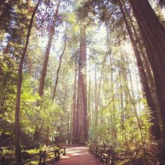 Caliparks : Henry Cowell Redwoods State Park Local Parks, Park Photos, Park City, Regional, State Parks, Travel Ideas, California, Plants, Instagram