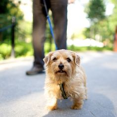 Molly, Norfolk Terrier, Washington Square Park, New York, NY