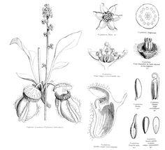 Cephalotaceae Cephalotus