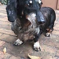 Higgins Fl Dachshund Rescue Dachshund Adoption Rescue Dogs