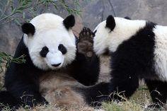 #Panda #pandas  Mei Lan   Flickr - Photo Sharing!