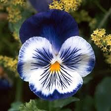 I really <3 fancy pansies. This one has beautiful & unusual colors & markings