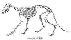 FoxSkelLyd1 - Fox - Wikipedia, the free encyclopedia