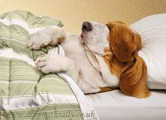 Humorous Greetings Card - Basset Hound - Avanti - Dogs Naturally