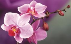 Orchids are a great addition to any home, with their exotic flowers and their beautiful shapes and vibrant colours. Read our handy guide at Love The Garden! Pink Orchid Wallpaper, Flower Wallpaper, Wallpaper App, Orchid Images, Flower Images, Chinese New Year Flower, Growing Orchids, Pink Orchids, Orchid Flowers