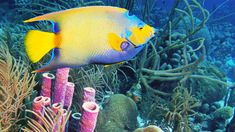 "BEST FOR SNORKELERS AND SCUBA DIVERS: BONAIRE A system of healthy, protected, bustling reefs encircles Bonaire, acting as home base for surgeonfish, blennies, yellowtails, seahorses, sea turtles, anemones, moray eels and dozens of other species. Sixty of the 86 dive sites on the island are accessible from the shore. No wonder Bonaire's license plates proclaim it a ""diver's paradise""!"