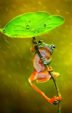 """Frog: """"It's Raining!"""" (Photo By: Ellena Susanti. Nature Animals, Animals And Pets, Funny Animals, Cute Animals, Funny Frogs, Cute Frogs, Beautiful Creatures, Animals Beautiful, Animals Amazing"""