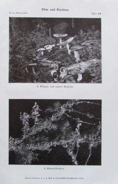 PILZE UND FLECHTEN 1916 Botanik Alter Druck Antik Antique Print Lithographie