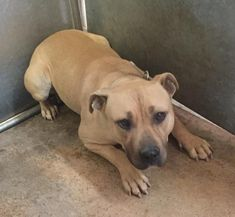 RESCUED! PRAISE GOD! 2/23/18 SOSHesperia, CA - ID#A030394 Female, fawn and white Pit Bull Terrier mix. My age is unknown. I have been at the shelter since Feb 05, 2018. Call: Hesperia Animal Shelter at (760) 947-1700