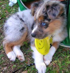 Huey the Mini Australian Shepherd, so cute! Someday day I will have a mini australian shepherd!