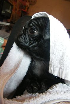 Bath time for baby pug