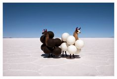 Black-and-white llamas and black-and-white balloons.