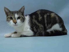 31/12/2016 SUPER URGENT ID#A1100302 – ADOPT Gwen whose owner was hospitalized so she needs a new home ASAP as she is to be destroyed. She is only a year old, a pretty female cat to adopt, past due out date 12/26/2016, Brooklyn NYC.