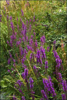 Irish WIldflowers 52