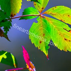 Luminous Leaves Photograph by Brian Stevens Colorful Plants, Plant Leaves, Greeting Cards, Wall Art, Nature, Photograph, Photography, Naturaleza, Photographs