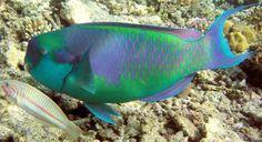 "Animaniac My Specials - Rainbow Creatures ""Rainbow Parrot Fish"" Underwater Creatures, Ocean Creatures, Underwater World, Underwater Photos, Water Animals, Big Animals, Colorful Fish, Tropical Fish, Great Barrier Reef"