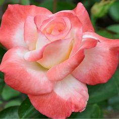 "Gemini™®, No other continual blooming rose produces such constantly perfect and beautiful 5 1/2"" blooms (petals 25+). The color is a lovely blend of cream and coral on long cutting stems. All-American Award winner."