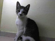 PULLED BY ANIMAL RESCUE FORCE - TO BE DESTROYED Sat. 7/26/14 -  NYACC **URGENT** ADORABLE BABY ALERT** TO BE DESTROYED 7/21/14 Manhattan Center  My name is BRAN. My Animal ID # is A1006186. I am a male brn tabby and white domestic sh mix.4 MONTHS old. STRAY on 07/10/2014