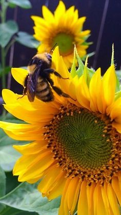Sunflower Colors, Sunflower Art, Types Of Bees, Color Pallets, Pretty Flowers, Flower Power, Lawn, Insects, Bugs