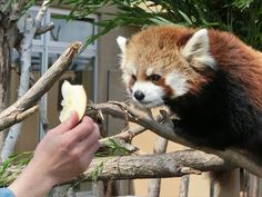 "Suspicious Red Panda - ""Is dis some kind of trick? It not feedin' time.....why you give me nom nom for nuthin'?!?"""