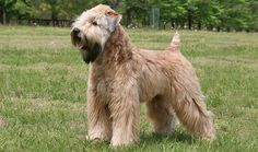 The sweetie Wheatie is happy, affectionate, and just a little bit stubborn. He jumps and twirls when he's happy. The soft coat that gives him his name is lovely to touch but needs a lot of grooming to stay that way. He's devoted to his family and makes a good watchdog.- Soft Coated Wheaten Terrier