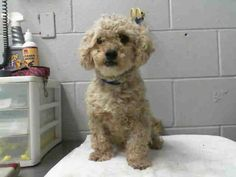 #A472617 Release date 9/18 I am a male, white Poodle - Miniature mix. Shelter staff think I am about 2 years old. I have been at the shelter since Sep 11, 2014.  Shelter location: 333 Chandler Place, San Bernardino, CA 92408. Hours of operation are Tuesday-Saturday 10:00 am to 4:30PM Closed Sunday/Monday Telephone (909) 384-1304 — with Linda Talley, Linda Rodriguez, Heather Poodle-Angel Hodges and Alexandra Bonvicini at City of San Bernardino Animal Control-Shelter.