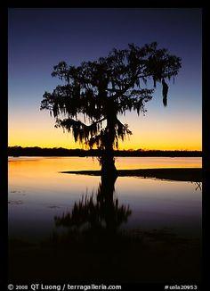 Bald cypress silhouetted at sunset, Lake Martin. Louisiana, USA