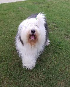 Finley, my Old English Sheepdog.