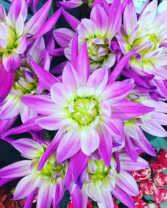 can never go wrong with #dahlia