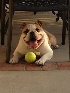 World's Happiest Bulldog with a Ball