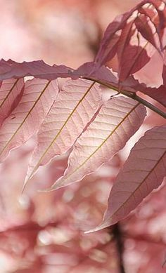 pink the en trend colour for nature in autumn winter 2017 Alice, guess even the trees like a little pastel. Wallpers Pink, Pink Roses, Pink Art, Pink Color, Pink Flowers, Hot Pink, Dusty Rose, Dusty Pink, Rose Pastel