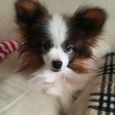 wanapapa#パピヨン#マダムパピヨ ン#愛犬#犬#犬友達#ワンコ#チワワ#柴 犬#横浜#海老名#相鉄#東横線#ボクシング女子