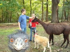 What's better? The llama? The goat? Nope, it's the photobombing ostrich.